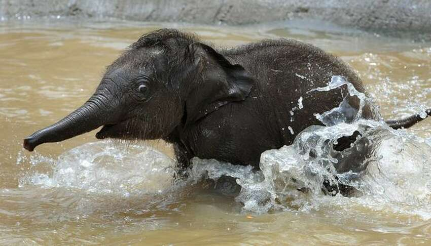 Melbourne Zoo's new Asian elephant - named Baby for the time being - goes for a run through the water after going on display to the public for the first time on Wednesday Feb. 10.