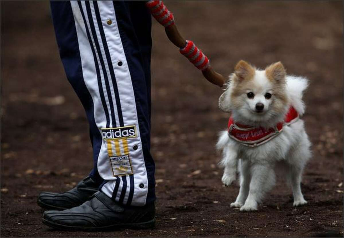 A pomeranian dog called Pueppi of a well known Koeln fan Hans Dieter Bilk is seen prior to the training session in Cologne, Germany.