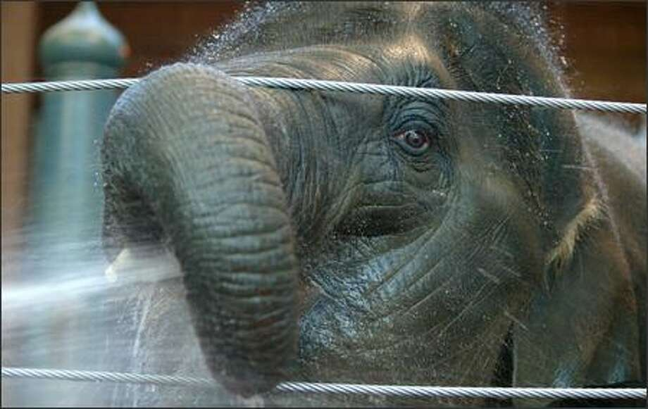 Hansa, a 6-year-old Asian elephant, died in June at Woodland Park Zoo from a previously unidentified strain of herpes virus. Photo: P-I File / P-I File