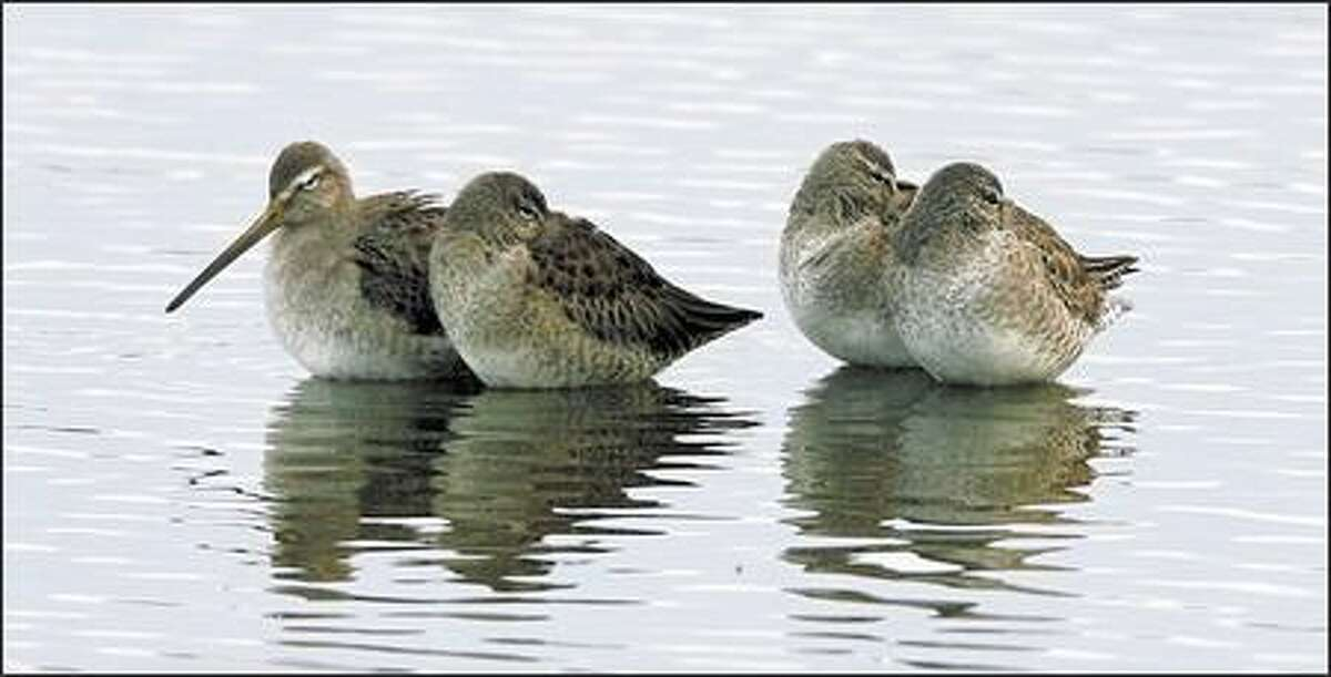 Four dowitchers rest in shallow water.