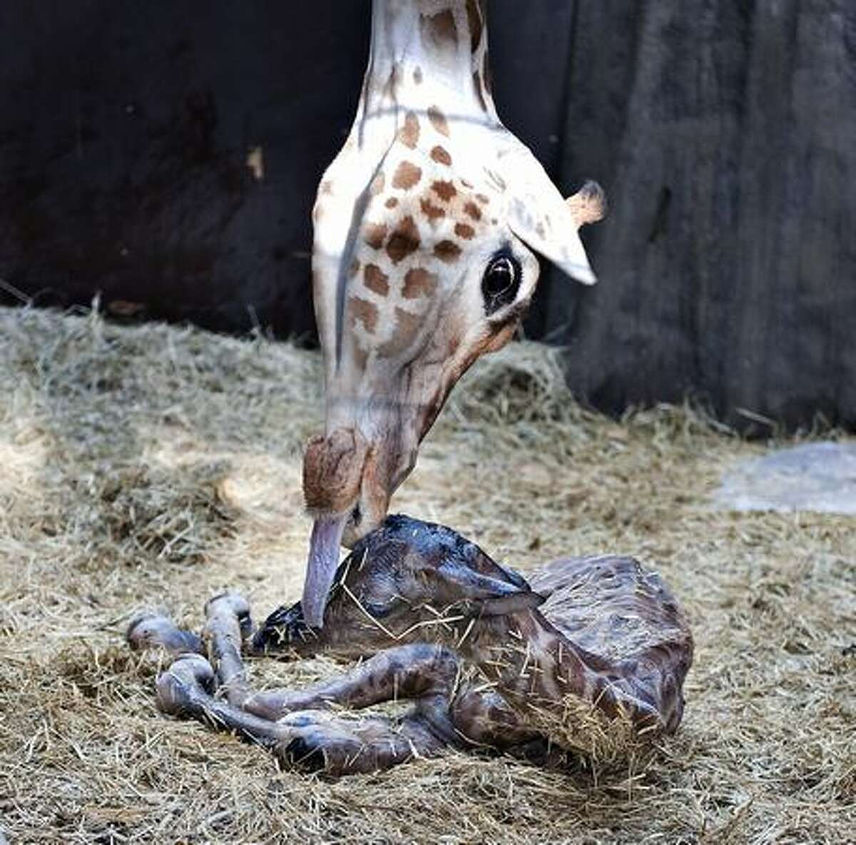 A giraffe foal is cleaned by its mother 'Jonna' shortly after it was born at Aalborg zoo in northern Jutland on Thursday, Feb. 11. AFP PHOTO / Henning Bagger / SCANPIX DANMARK
