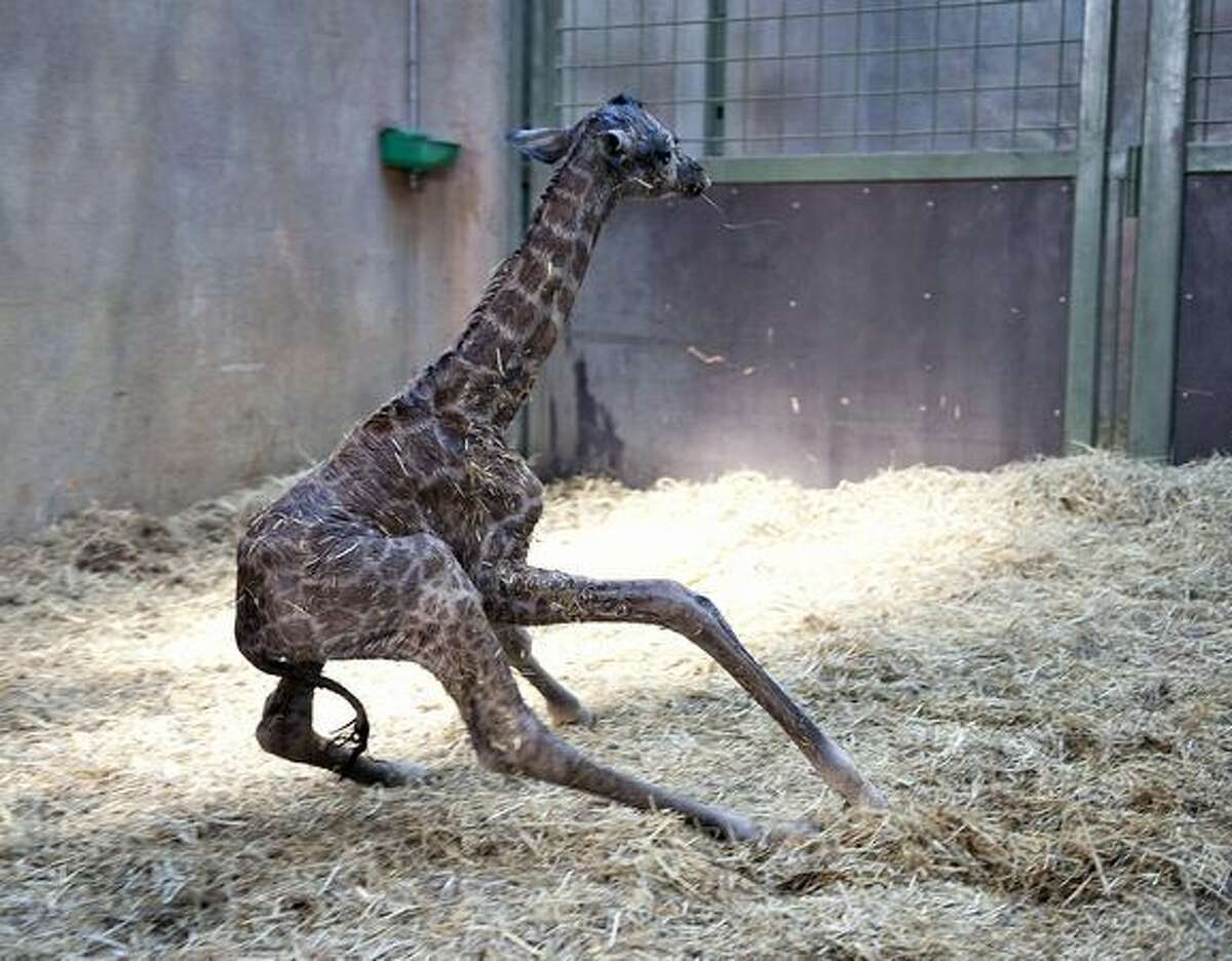 A giraffe foal tries to walk shortly after it was born at Aalborg zoo in northern Jutland on Thursday, Feb. 11. Photo by HENNING BAGGER/AFP/Getty Images