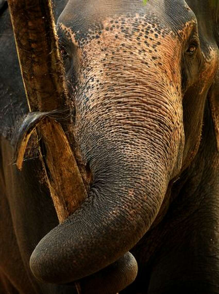 An elephant eats at a public park in Colombo on Thursday ahead of night duties for the capital's main Buddhist pagent. The pagent is held the night before the full moon day in February, when traditional dancers, drummers, whip crackers, fire eaters, musicians and devotees take part in the pageant that parades through the main streets of Colombo. (Photo by Ishara S.KODIKARA/AFP/Getty Images)