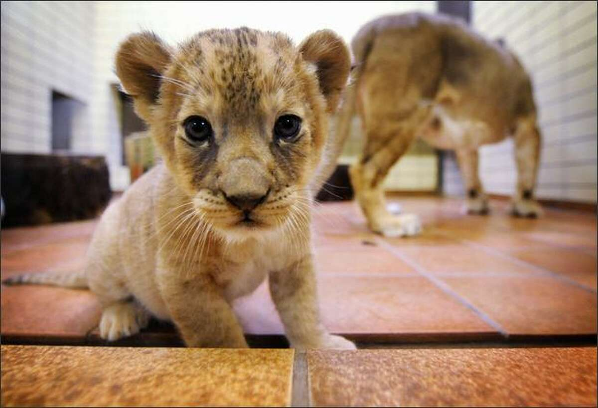 A four-week-old baby lion wanders around its enclosure with its mother at the zoo in the western German city of Dortmund. It has been two years since the last births of lion babies at the zoo.