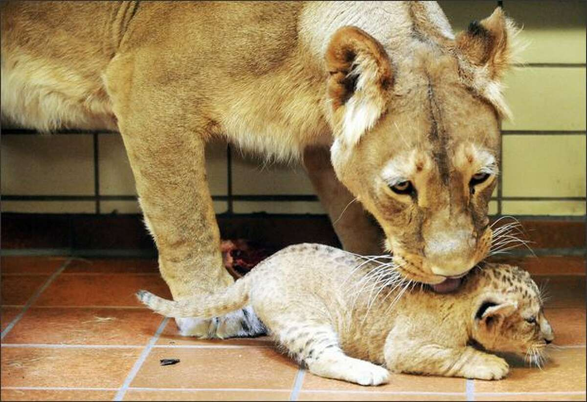 A four-week-old baby lion is cleaned by its mother at the zoo in the western German city of Dortmund. It has been two years since the last births of lion babies at the zoo.