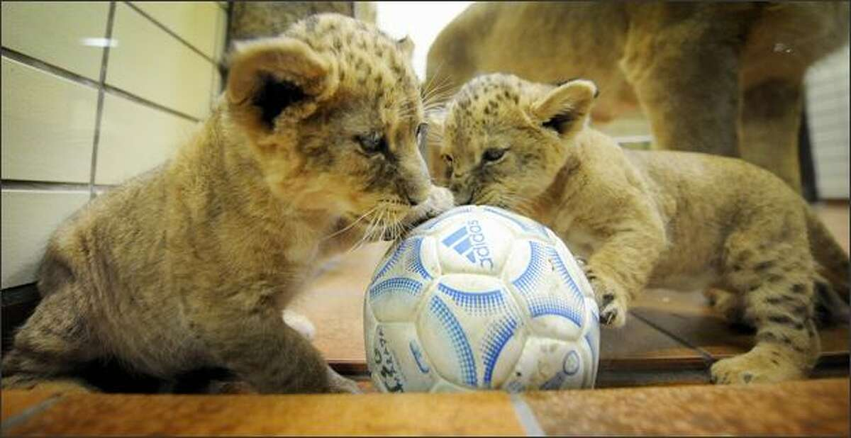 Two four-week-old baby lions play with a ball at the zoo in the western German city of Dortmund. It has been two years since the last births of lion babies at the zoo.