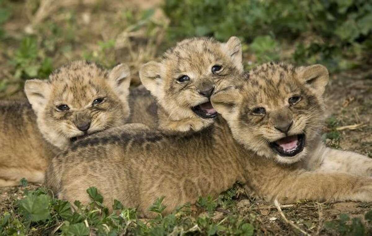 Three one-month-old lion cubs make their first public appearance at the Ramat Gan Zoo near Tel Aviv on Sunday, Feb. 21.