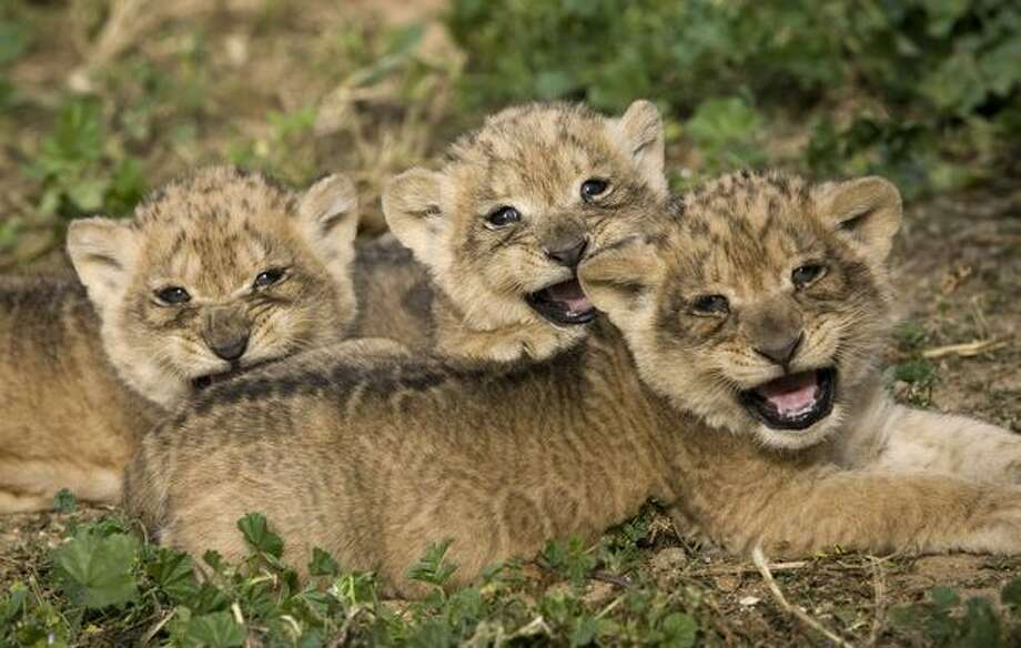 Three one-month-old lion cubs make their first public appearance at the Ramat Gan Zoo near Tel Aviv on Sunday, Feb. 21. Photo: Getty Images / Getty Images