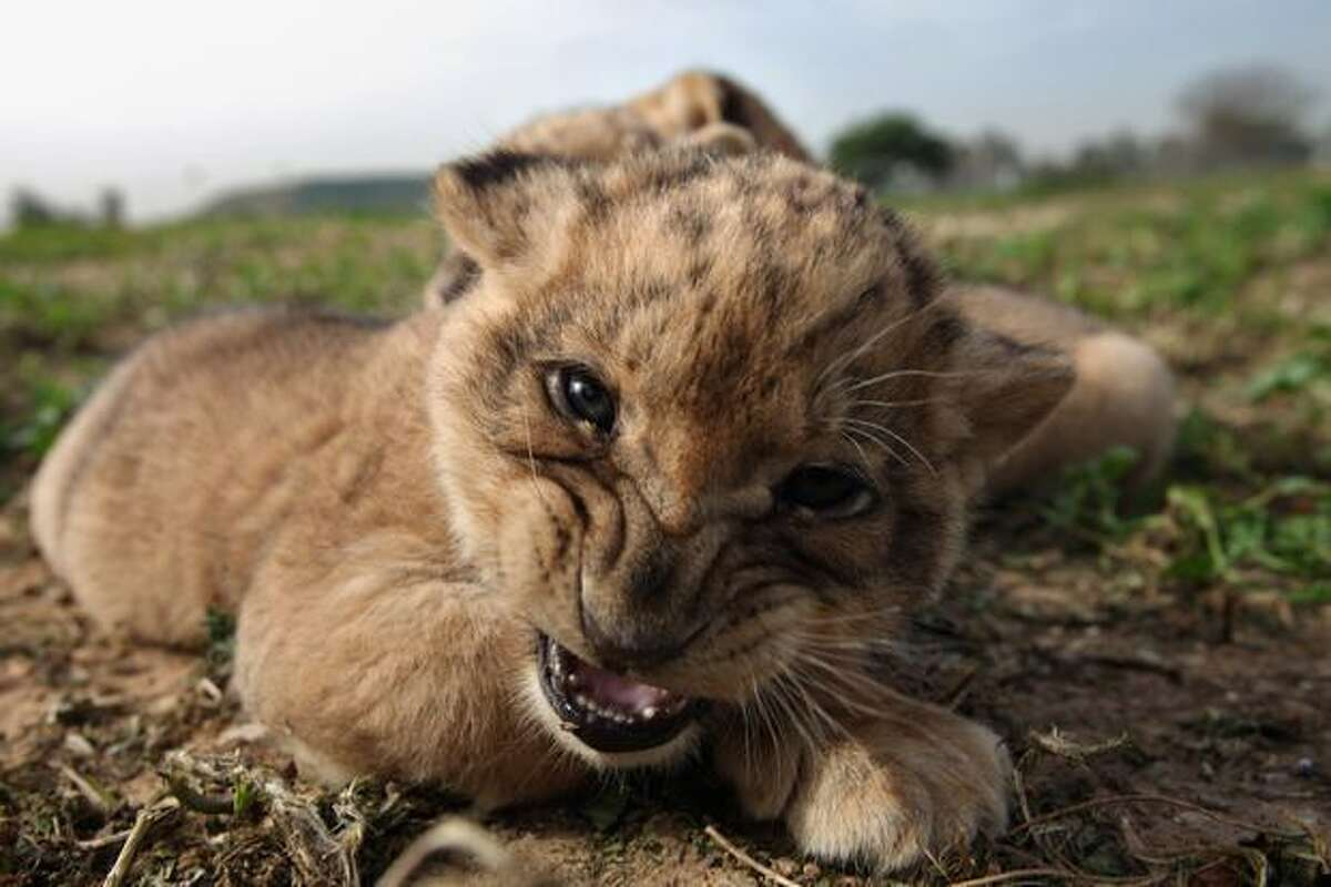 One-month-old lioness cubs explore their surroundings as they take their first outing on Sunday, Feb. 21 at the Ramat Gan Safari Park near Tel Aviv, Israel.