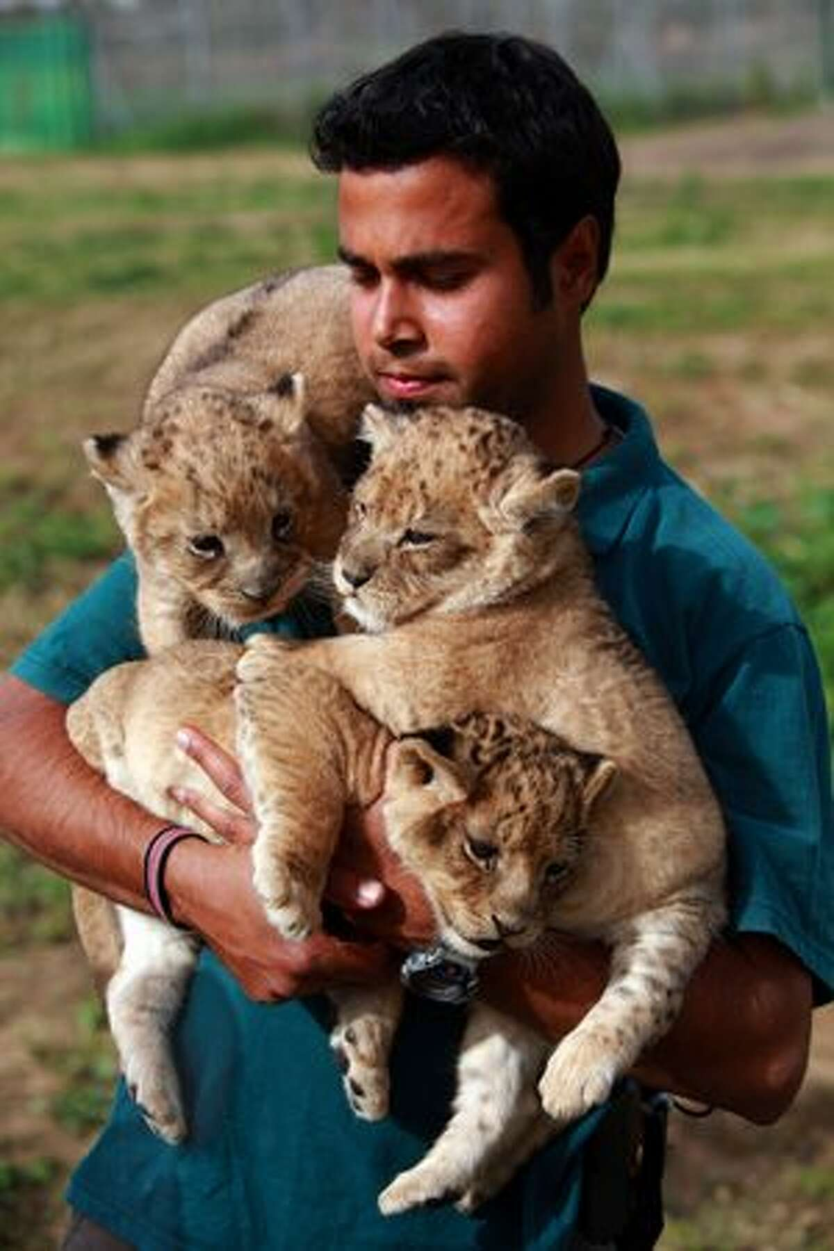 Three one-month-old lioness cubs are held by a keeper as they take their first outing on Sunday, Feb. 21 at the Ramat Gan Safari Park near Tel Aviv, Israel. The still unnamed cubs are the first triplet females to be born at the safari park and officials say their birth will ensure the continuity of the park's pride of lions.