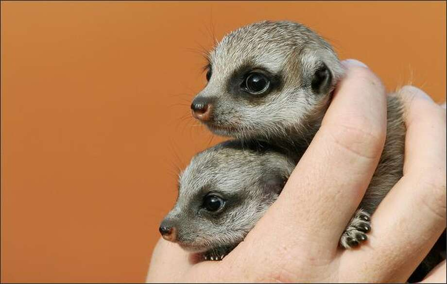 Meerkat pups 'Nairobi' (top) and 'Zanzibar' (below), four weeks old, are the first to be born at Sydney's Taronga Zoo in nine years. Meerkats are native to southern Africa and the Kalahari Desert and have dark patches around their eyes to lessen the desert glare like sunglasses as well as ears that can close in the event of a sand storm. Photo: Getty Images / Getty Images