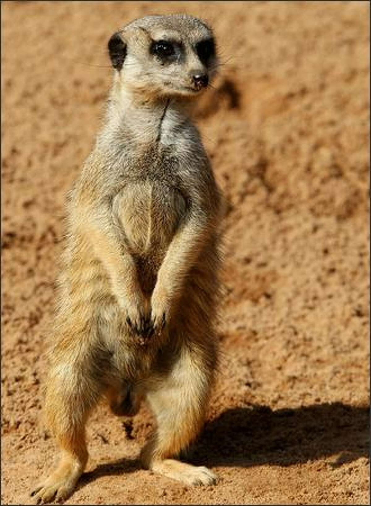 Meerkat and alpha male 'Bob' stands on his hind legs in Taronga Zoo's African-themed Meerkat Desert. 'Bob', who is the resident Cassanova and the last Meerkat born at the zoo in 2000, is the suspected father of two Meerkat pups 'Nairobi' and 'Zanzibar' (not pictured).
