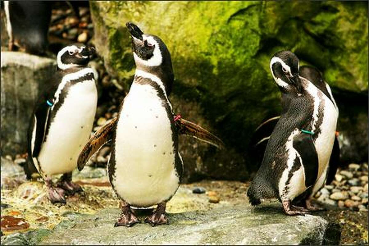 The penguins strut around their pen at Point Defiance Zoo & Aquarium in Tacoma.