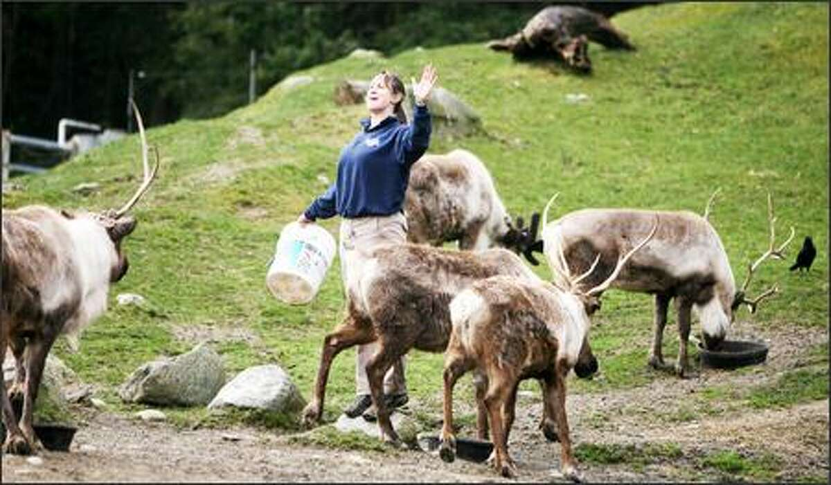 Aimee Dahl is a welcome sight for the zoo's reindeer as she brings food. She says the reindeer