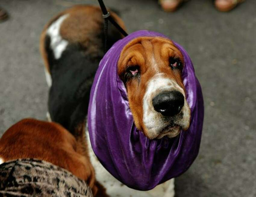 A Basset Hound dog waits for its turn to be evaluated during the Second National Canine Championship in Santo Domingo de Heredia, in the outskirts of San Jose.