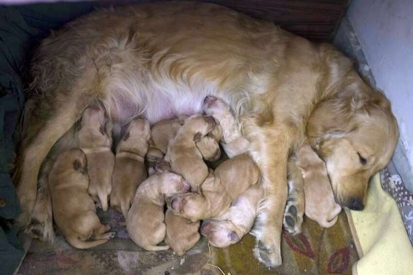 A dog which recently gave birth to 12 puppies nurses them as the owner proudly shows her off at their home in Beijing on Wednesday, Feb. 24. It was reported in late January that dog and cat meat -- age-old delicacies in China -- could be off the menu in the food-loving nation under its first law against animal abuse.