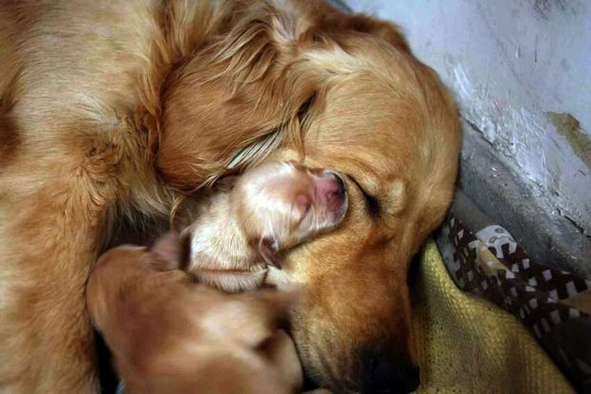 A dog which recently gave birth to 12 puppies naps with them as the owner proudly shows her off at their home in Beijing on Wednesday, Feb. 24. It was reported in late January that dog and cat meat -- age-old delicacies in China -- could be off the menu in the food-loving nation under its first law against animal abuse.
