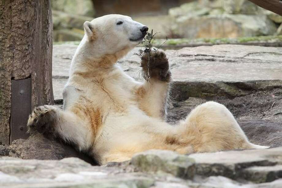 Polar bear Knut plays with a branch at the Berlin Zoo on Thursday, March 4 in Berlin, Germany. Knut has been enjoying the company of Giovanna, a polar bear who is on loan for several months from a zoo in Munich. Photo: Getty Images / Getty Images