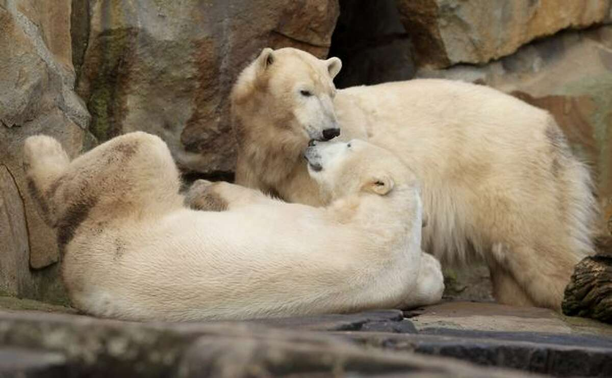 Polar bears Knut (L) and Giovanna cuddle at their enclosure at the Berlin Zoo on Thursday, March 4 in Berlin, Germany. Giovanna is on loan for several months from a zoo in Munich and she and Knut seem to be getting along well.