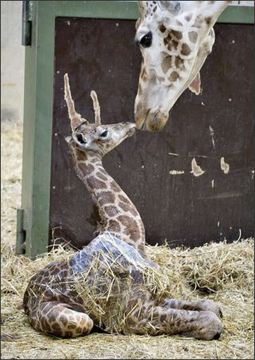 A giraffe foal is cleaned by its mother shortly after its delivery at Aalborg zoo.