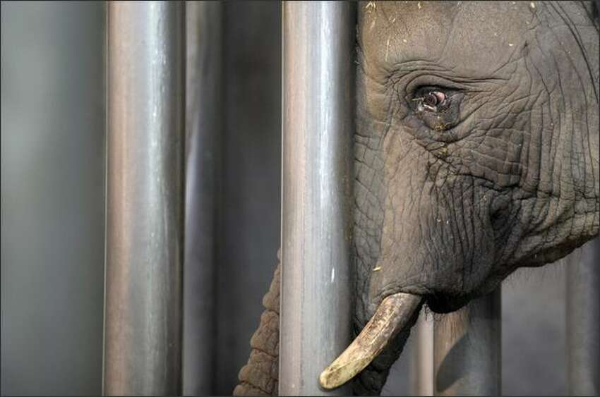 A 16-year-old elephant named Gonie upon its arrival to the Amneville zoo, in Amneville, eastern France. Gonie was brought from Germany as the Amneville Zoo was looking for an elephant to reproduce with their male elephant.