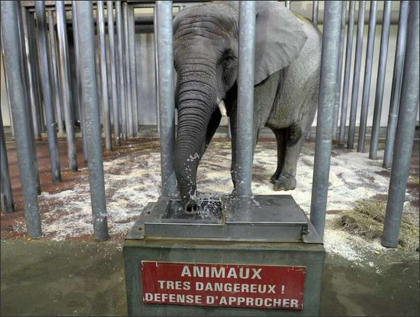 A 16-year-old elephant named Gonie drinks water upon its arrival to the Amneville Zoo in Amneville, eastern France. Gonie was brought from Germany as the Amneville zoo was looking for an elephant to reproduce with their male elephant.