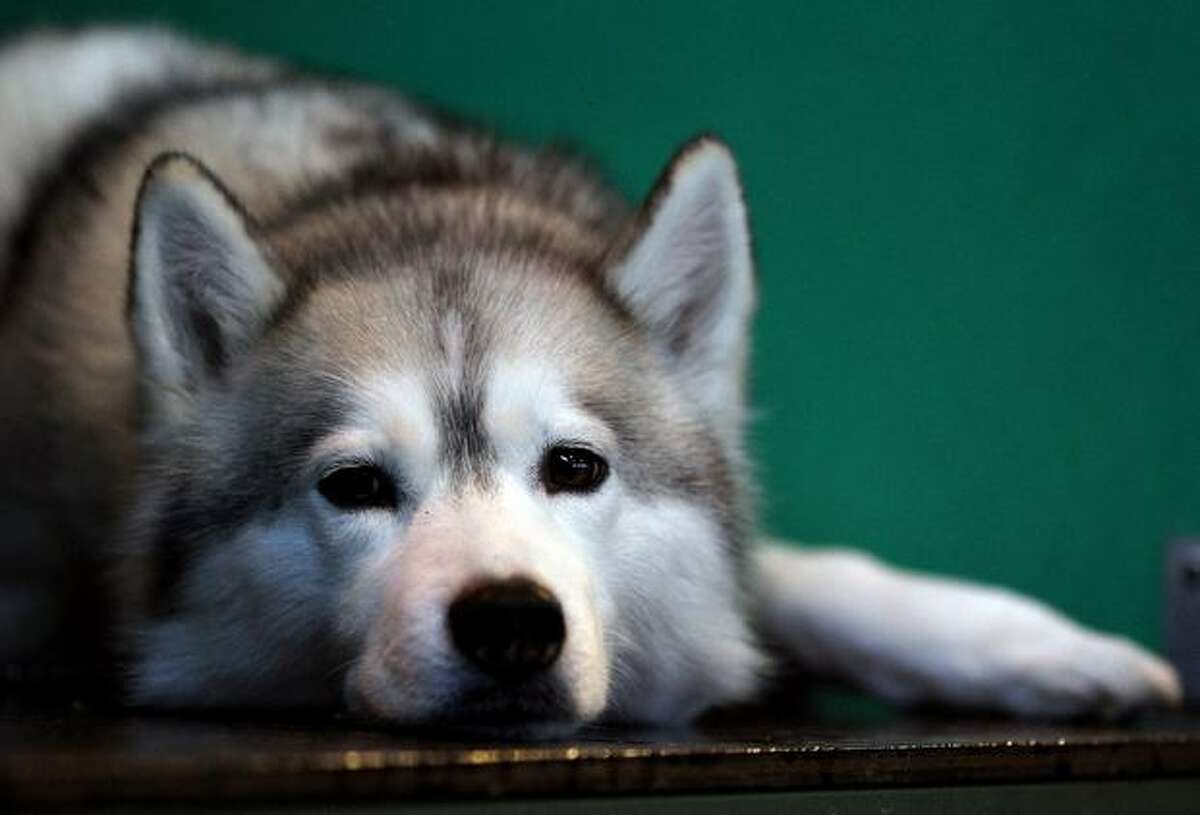 A dog lies in its enclosure on day one of the annual Crufts dog show at the National Exhibition Centre in Birmingham, England.