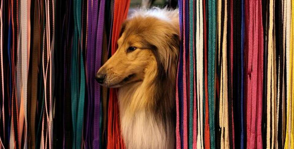 A dog pokes it's nose through leads on a display stand on day one of the annual Crufts dog show at t