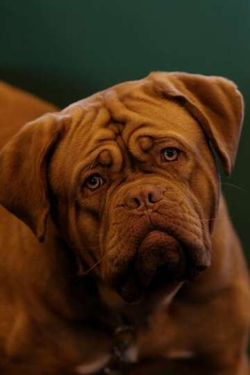 A dog looks during day one of the annual Crufts dog show at the National Exhibition Centre in Birmin