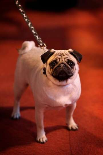 A pug is walked by its owner on day one of the annual Crufts dog show at the National Exhibition Cen