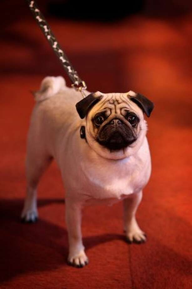 A pug is walked by its owner on day one of the annual Crufts dog show at the National Exhibition Centre in Birmingham, England. Photo: Getty Images / Getty Images