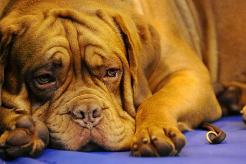 A Dogue de Bordeaux is pictured at the Crufts Dog Show in Birmingham, central England.