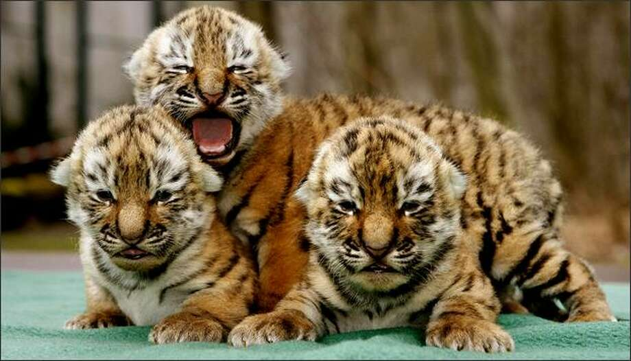 Three Siberian tiger babies, also known as the Amur tigers, cuddle in the Leipzig zoo. They were born on March 2 to their mother Bella. The Amur tigers are a rare and protected species. Photo: Getty Images / Getty Images