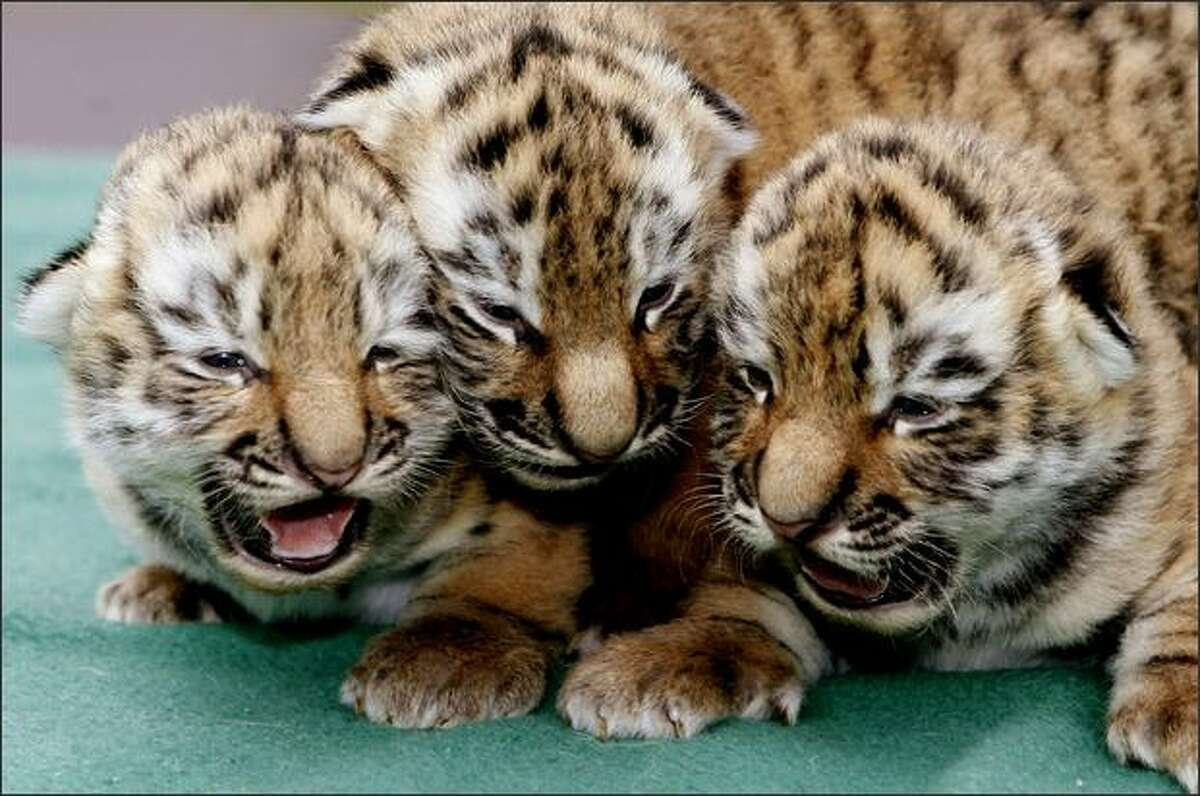 Three Siberian tiger babies, also known as the Amur tigers, cuddle in the zoo of Leipzig on March 13, 2009. They were born on last March 2, to their mother Bella. The Amur tigers are a rare and protected species.