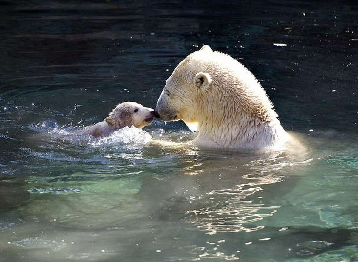 Polar bear Malik swims with her four-month old cub for the first time in a large outdoor enclosure with a huge pond at the Aalborg zoo in Denmark on March 19, 2011. It was awaited with anticipation how long it would take for the little bear to throw himself into the water for the first time. Malik was fast into the water, but it took a long time before he ventured further into the pool.