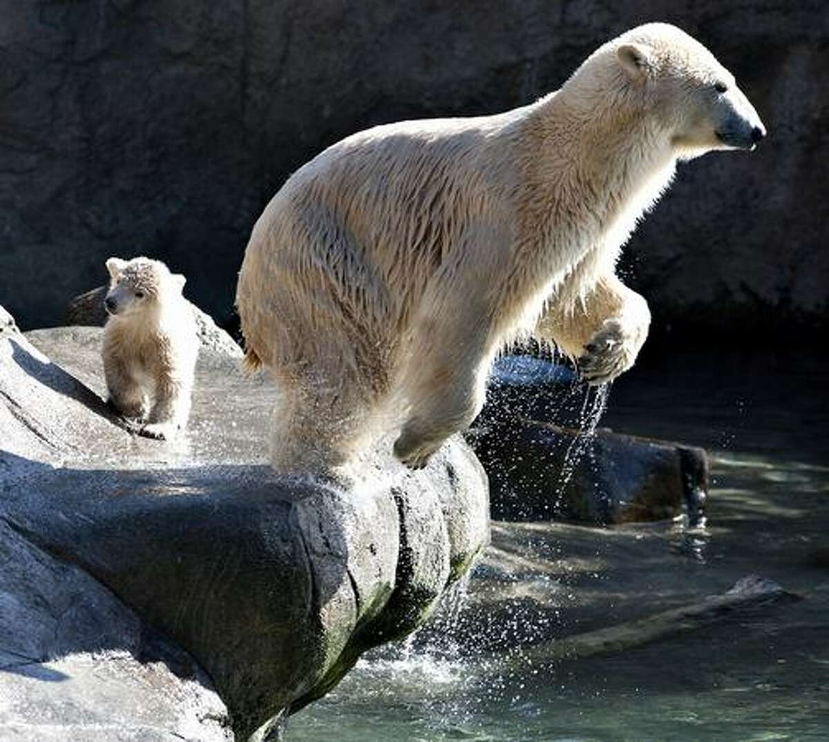 Polar bear Malik stands next to her four-month old cub after a swim in a large outdoor enclosure with a huge pond at Aalborg's zoo on March 19, 2011.