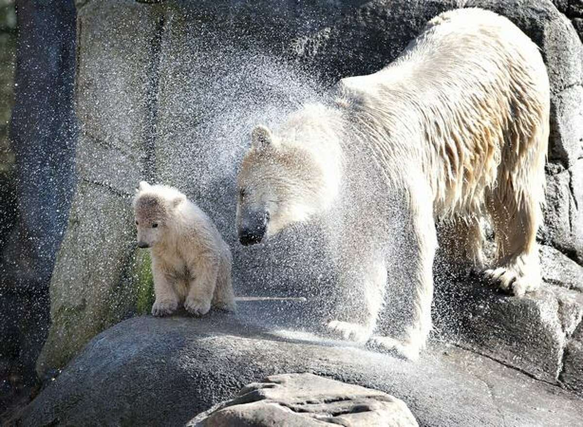 Polar bear Malik and her four-month old cub shake themselves dry after a swim in a large outdoor enclosure with a huge pond at Aalborg's zoo in Denmark on March 19, 2011.