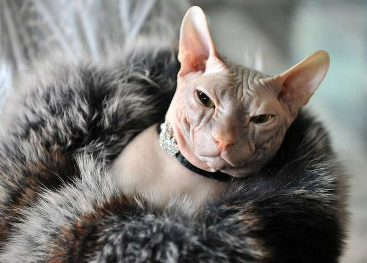 A Canadian Sphynx breed cat wears a brooch during a cat exhibition in Bishkek. Cat lovers from Kyrgyzstan, Kazakhstan and Uzbekistan took part in the exhibition.