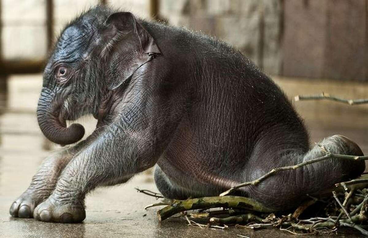 Newborn elephant baby