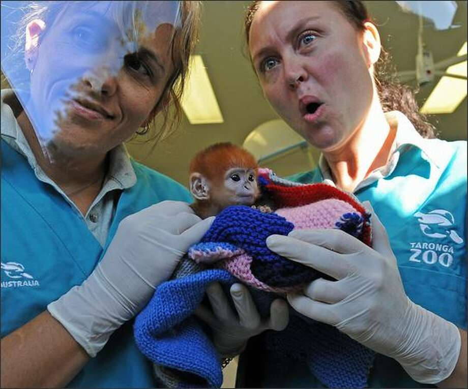 Primate keepers Louise Grossfeldt (L) and Mandy McLellan (R) display an infant Francois Langur (Trachypithecus francoisi) named 'Elke' through the window of Taronga Zoo's Wildlife Hospital in Sydney. There are only around 1,000 of the critically endangered leaf-eating monkeys still in the limestone karst region of northeast Vietnam. Photo: Getty Images / Getty Images