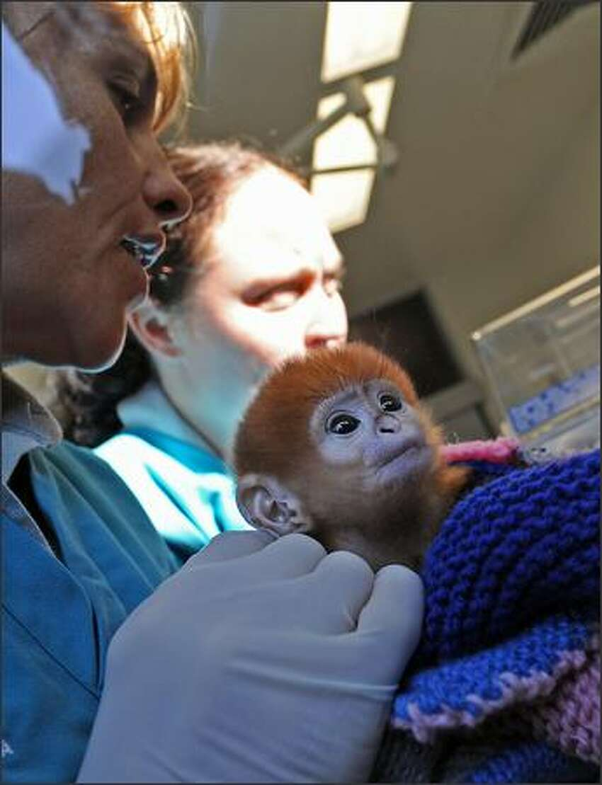 Primate keepers Louise Grossfeldt (L) and Mandy McLellan (R) display an infant Francois Langur (Trachypithecus francoisi) named 'Elke' through the window of Taronga Zoo's Wildlife Hospital in Sydney. There are only around 1,000 of the critically endangered leaf-eating monkeys still in the limestone karst region of northeast Vietnam.