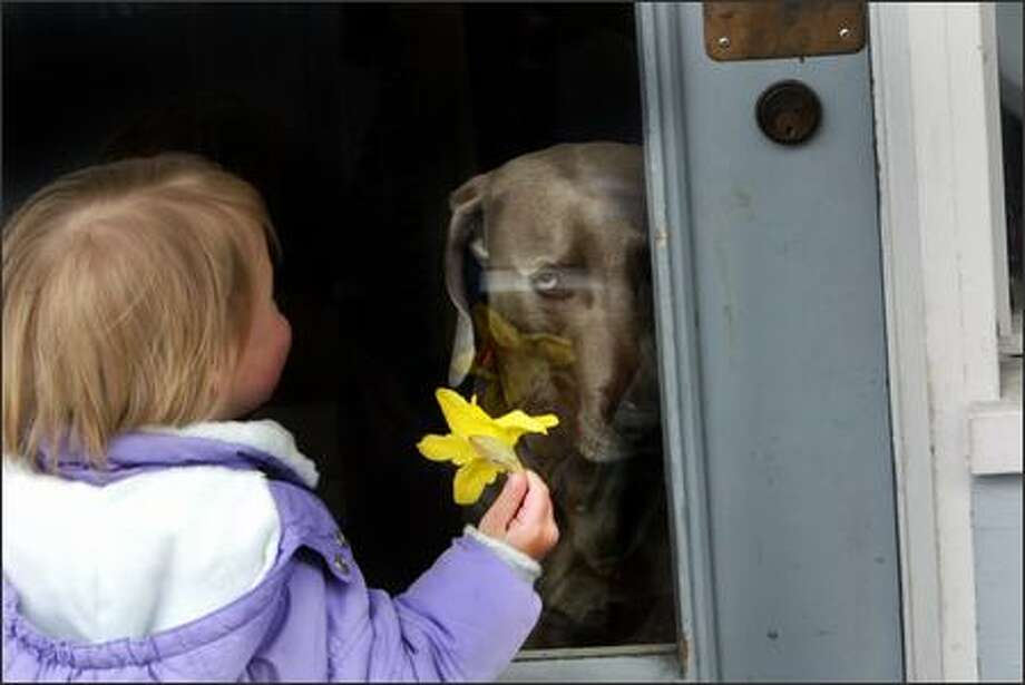 Quinn Smith, age 23 months, says hello to Major, a Weimaraner guarding his store, and shows him her flower as he stares back at her from the door of his owner's shoe shop, Johnny's Shoe Service, in Ballard. 30,000 daffodils were expected to be given away to in neighborhoods around Seattle today to celebrate the first day of spring. Photo: Karen Ducey, Seattle Post-Intelligencer / Seattle Post-Intelligencer