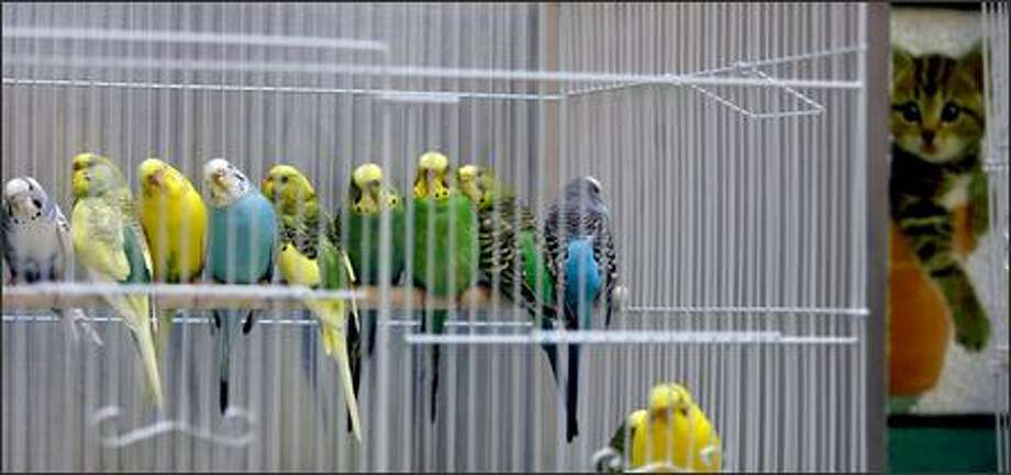 """Some of the more than 100 parakeets rescued Tuesday by animal control officers doze in a cage in the """"Cat Adoption Room"""" at the Seattle Animal Shelter in Seattle. Photo: Mike Urban, Seattle Post-Intelligencer / Seattle Post-Intelligencer"""