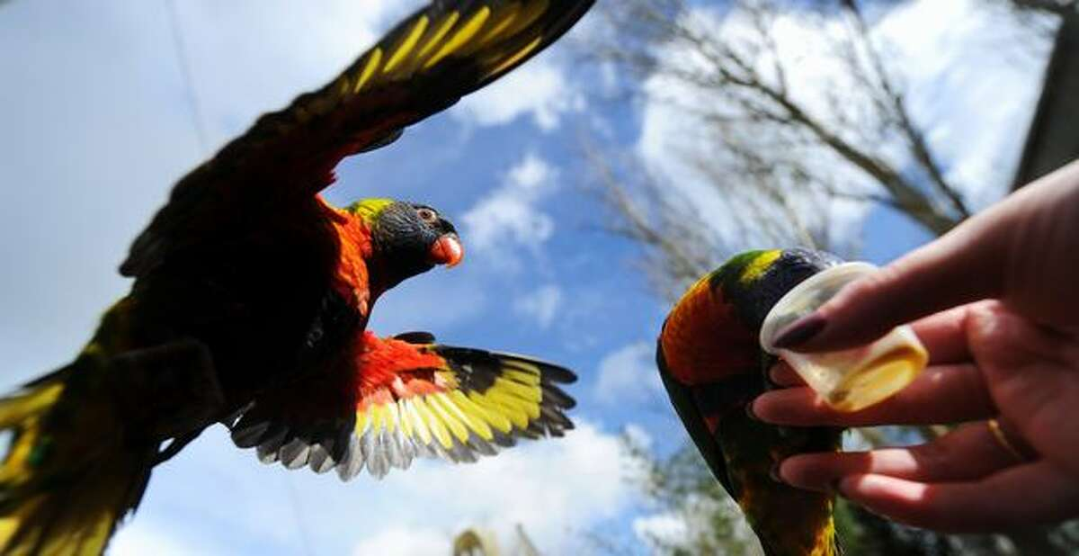 A rainbow lorikeet flies toward a pot of nectar in a walk-through aviary, part of Wild Asia at Chessington World of Adventures theme park near Leatherhead, southern England.