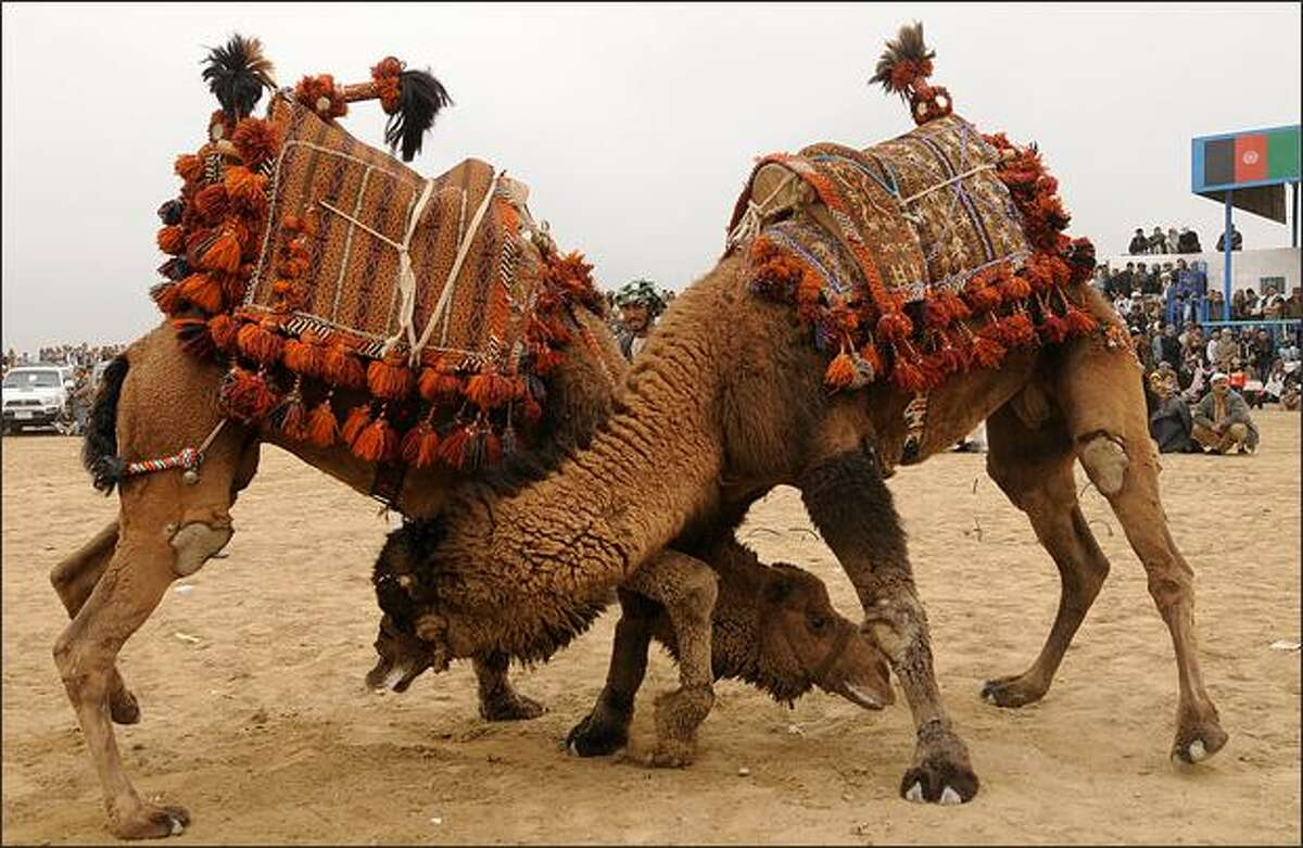 Two camels challenge each other during a camel-fighting game on the outskirts of the northern city of Mazar-i-Sharif. The game, as well as dog fighting, ram-fighting and Buzkashi, are part of Afghanistan's New Year festivities which started on March 21.