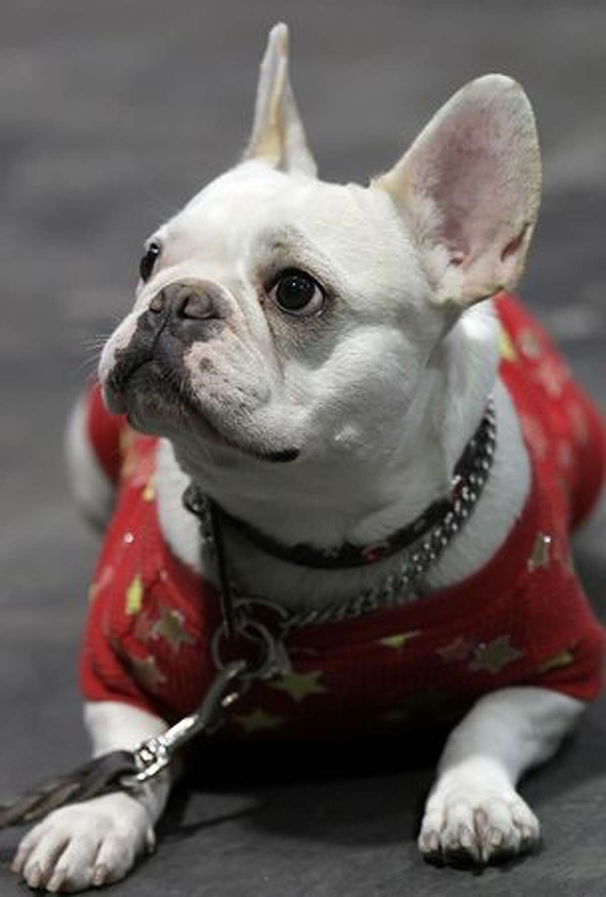 A French Bulldog sits backstage during the Asian International Dog Show at Tokyo Big Sight on April 3 in Tokyo, Japan.