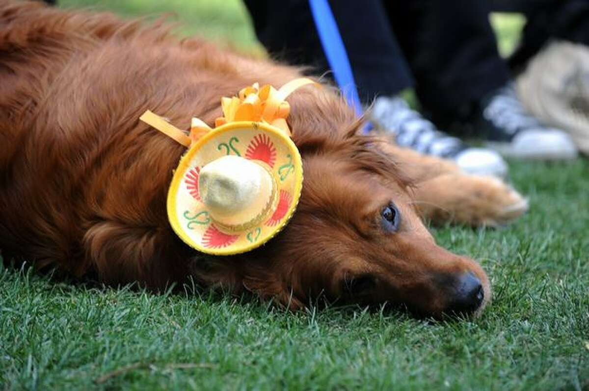 A Golden Retriever waits in line to be sprinkled with Holy Water by Cardinal Roger Mahony at the Blessing of the Animals at Olvera Street in downtown Los Angeles on April 3.
