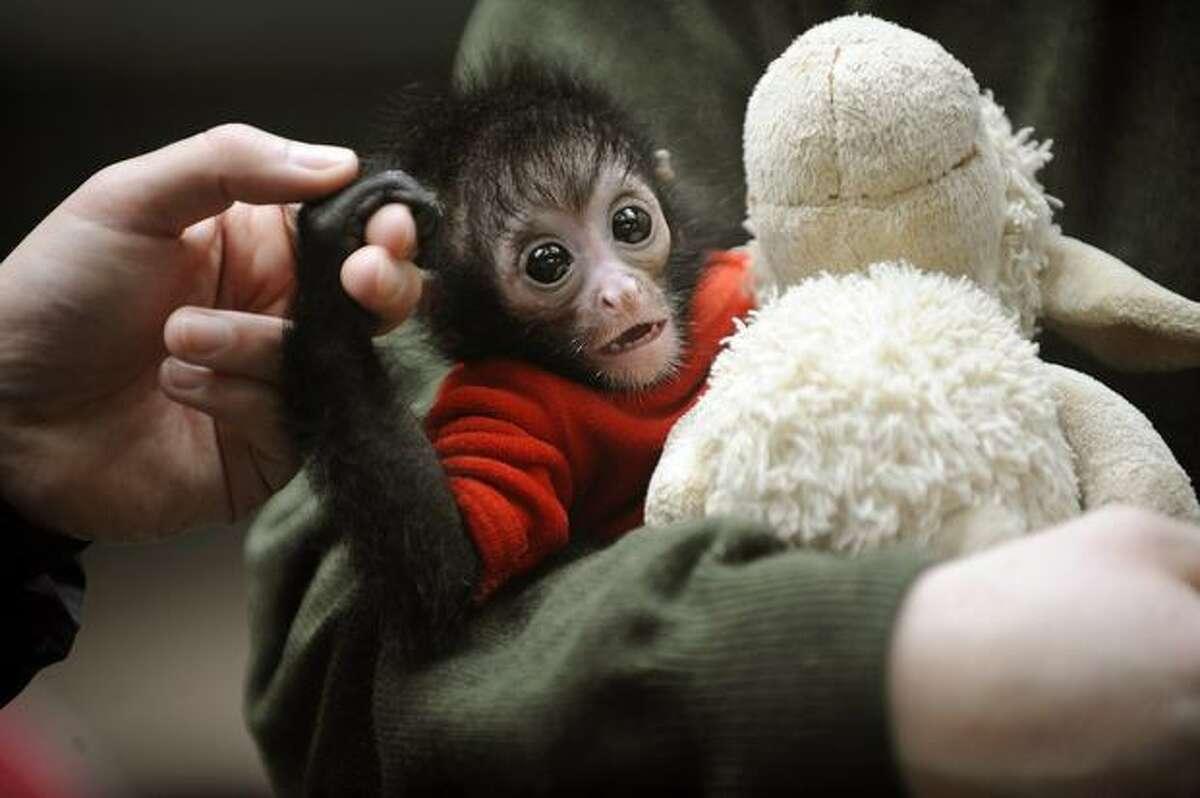 The black-headed spider monkey baby