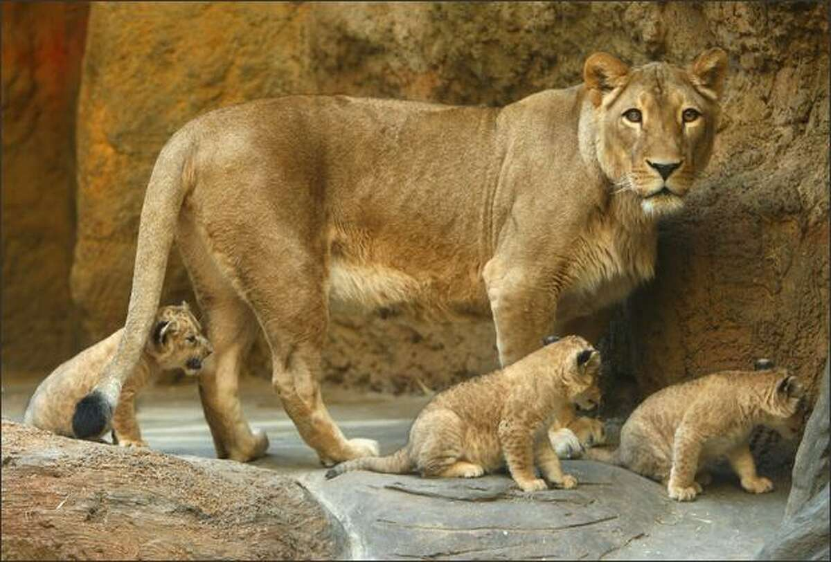 New born lion cubs and the mother lion are seen at the Wuppertal Zoo in Wuppertal, Germany.