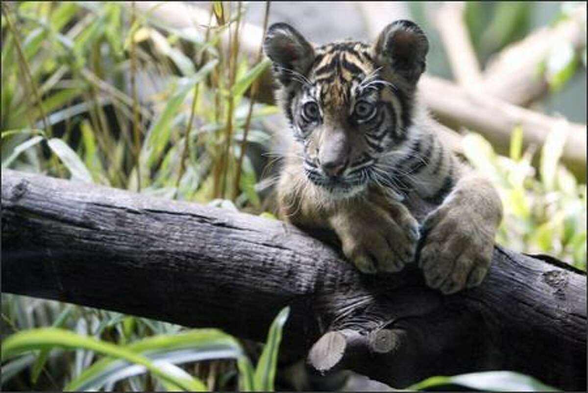 Hadiah, a female Sumatran tiger cub, makes her public debut at Woodland Park Zoo in Seattle. The cub's name, which means